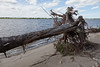 Toppled tree on shore of Charles Island