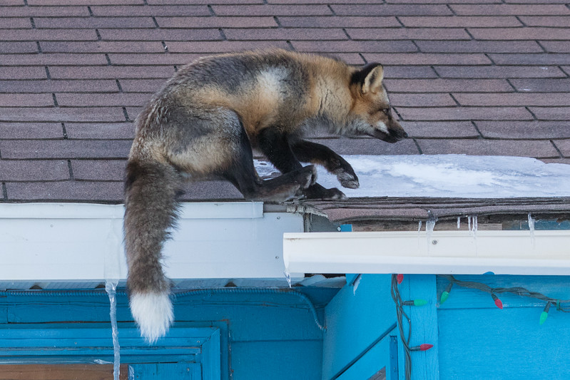 Fox landing on roof. 7/8