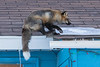 Fox landing on roof. 7/8