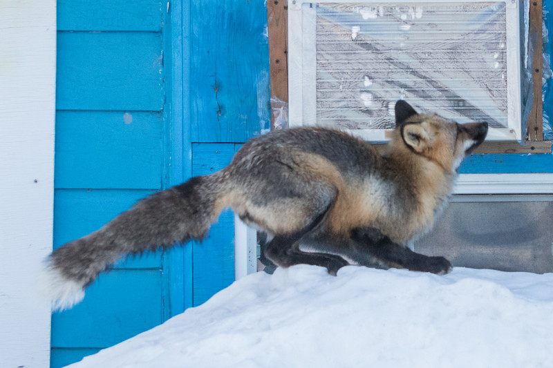 Fox preparing to jump to roof. 2/8