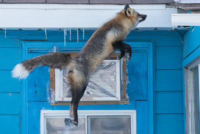 Fox jumping to roof 2017 March 12 close up