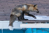Fox has landed on roof. 8/8