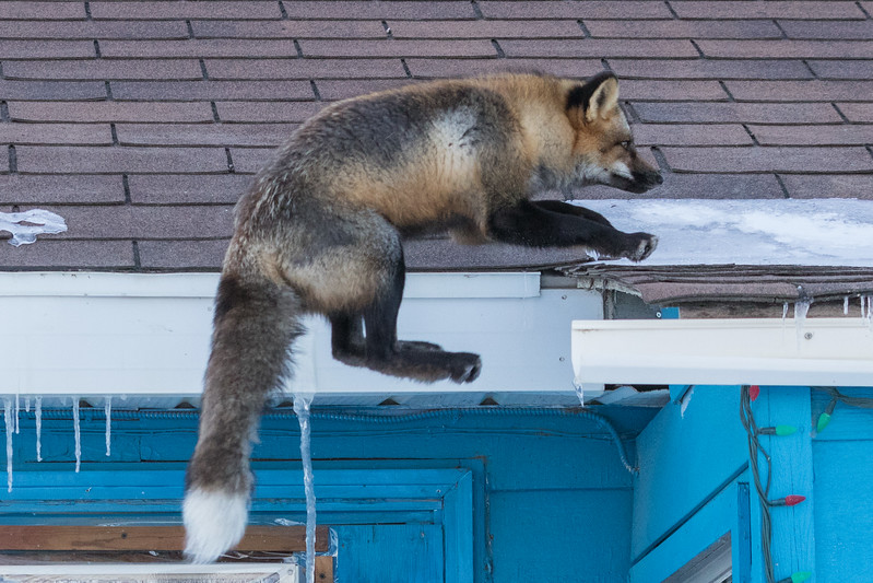 Fox jumping to roof ready to land. 6/8