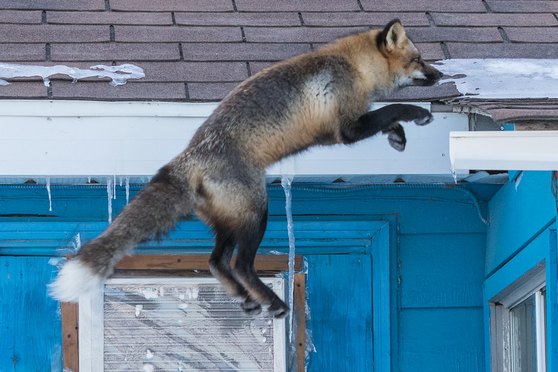 Fox jumping almost at roof level. 5/8
