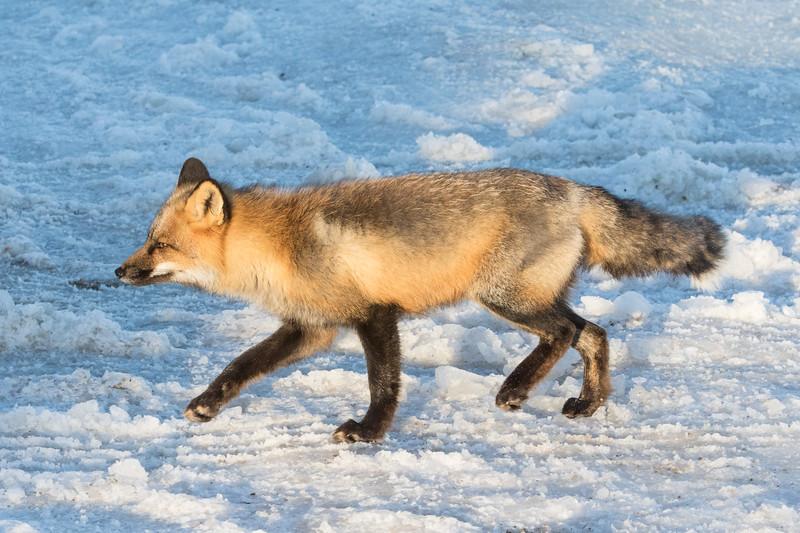 Fox walking on road.