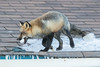 Fox on roof with egg in mouth.