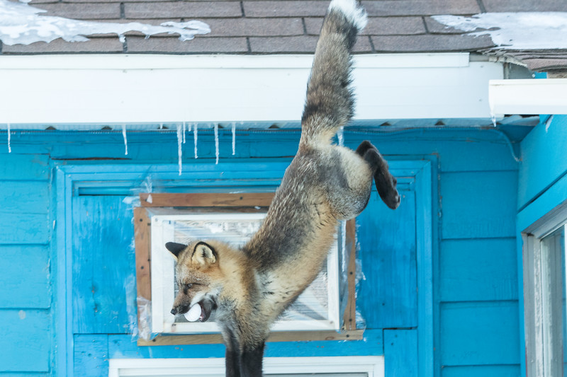 Fox jumping off roof with egg in mouth. Front paws and tip of tail out of frame.