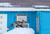 Fox preparing to jump to roof. 1/8