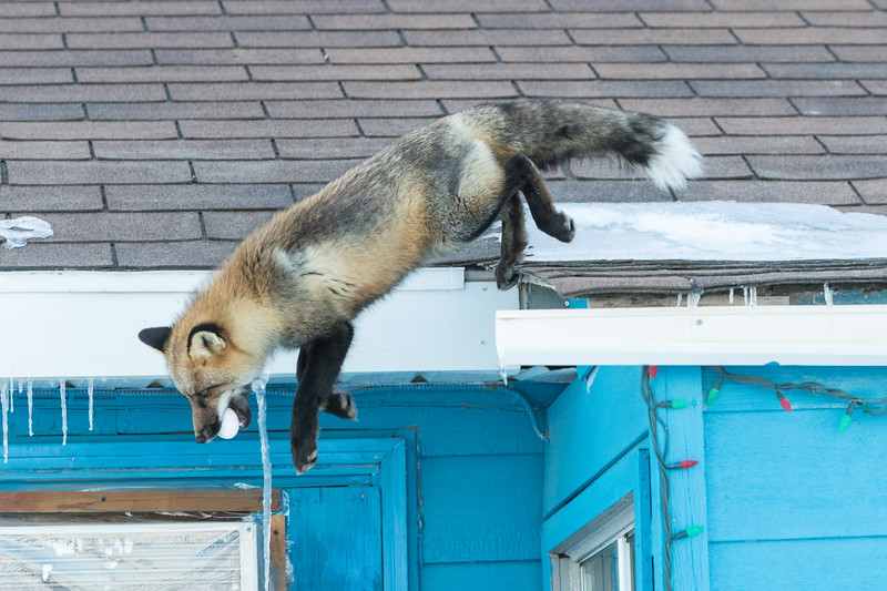 Fox jumping off roof with egg in mouth.
