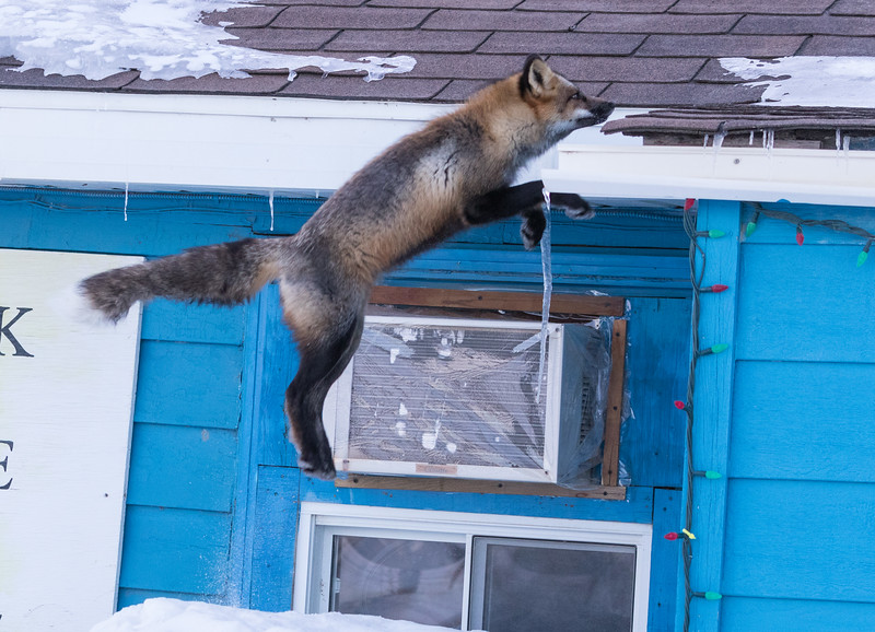 Fox jumping to roof.