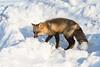 Fox on snowbank.