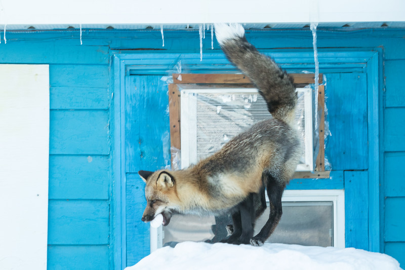 Fox landing after jumping off roof.