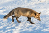 Fox walking on snow.