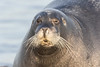 Headshot of gray seal on dock. Squinting.