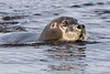 Gray seal in the water.