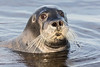 Headshot gray seal in the water.
