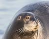 Headshot of gray seal on dock.