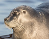 Headshot of gray seal on dock.   Eyes closed.