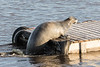 Gray seal climbing on to docks.
