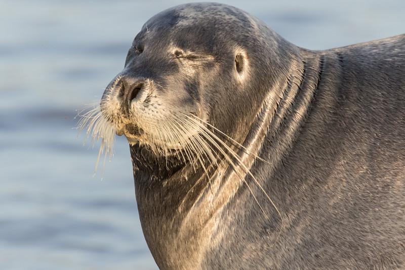 Headshot of gray seal on dock in Moosonee. Eyes shut.