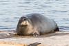Gray seal on dock in Moosonee.