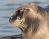Headshot of gray seal on dock in Moosonee.