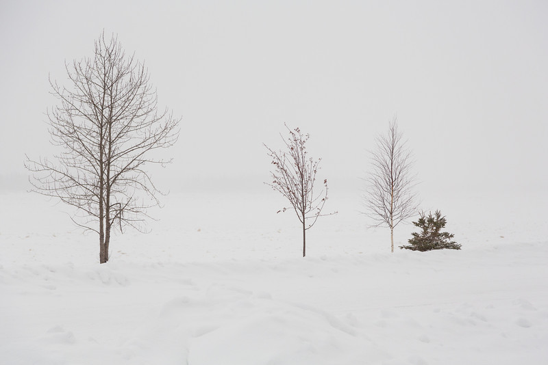 Trees along the Moose River with falling snow. Limited Visibility.
