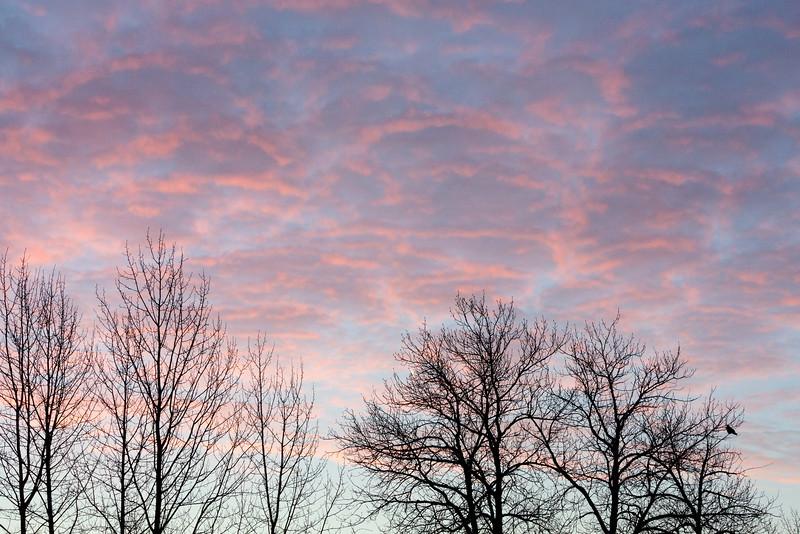Raven in tree around sunrise. PUrple skies.