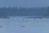 People and snowmobiles on the Moose River near channel to Moose Factory.