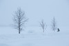 Trees along the Moose River in Moosoee on a snowy morning with limited visibility.