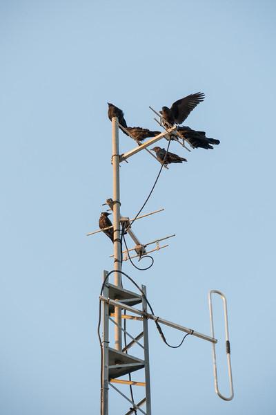 Crows on TVO antenna in Moosonee.