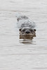 Otter swimming and looking.