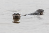 Otters in the water.