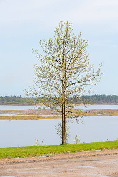 Tree along the Moose River after the rain.