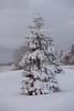 Snow coated tree on Revillon Road.