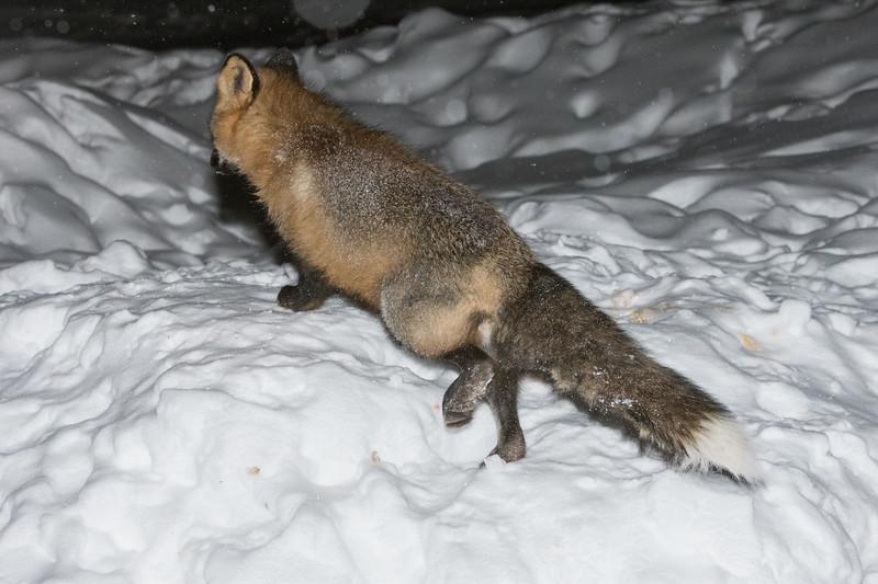 Fox climbing up snow bank.