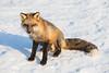 Fox on snow.
