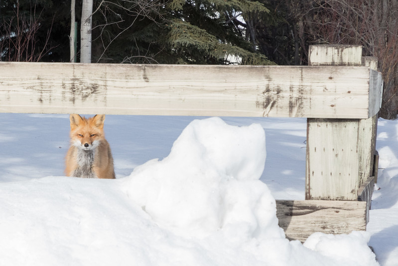 Fox at house on Wabun Road. Photo taken from vehicle.