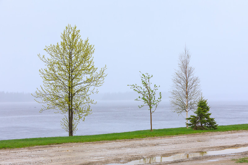Trees along the Moose River in Moosonee on a rainy day. 2017 June 1st.