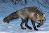 Fox in the backyard