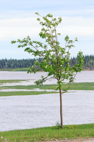 Tree along the Moose River in Moosonee. 2017 June 20th.