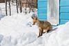 Fox on snowbank in front of Keewaytinok.