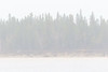 Trees across the Moose River in the rain.