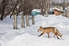 Fox crossing driveway on Wabun Road. Out of focus.