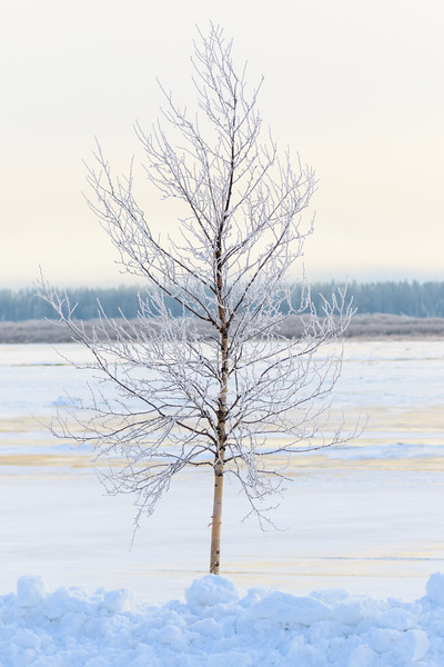 Icy tree on a misty morning along the Moose River at Moosonee.