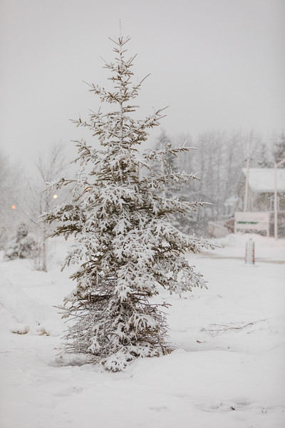 Snow covered tree.