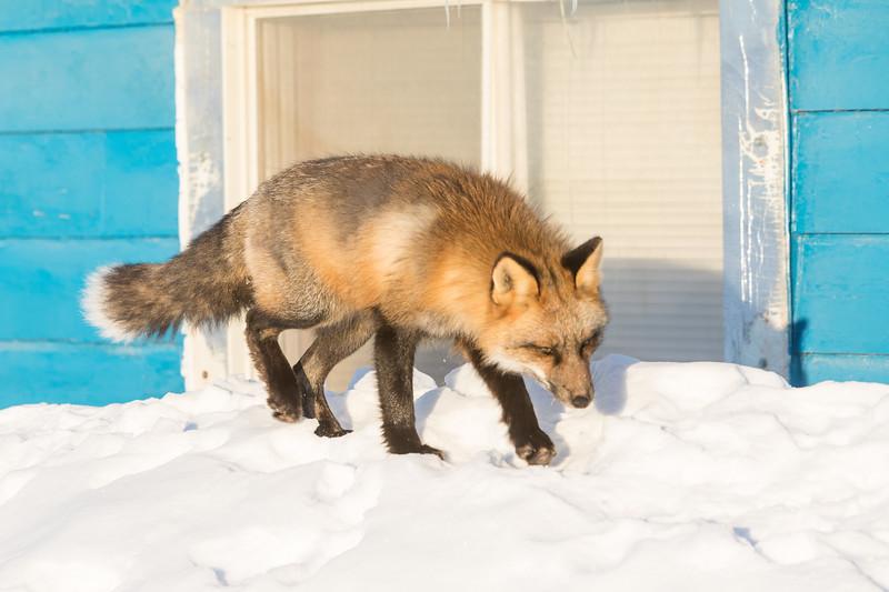 Fox on snow by kitchen window at Keewaytinok Native Legal Services.