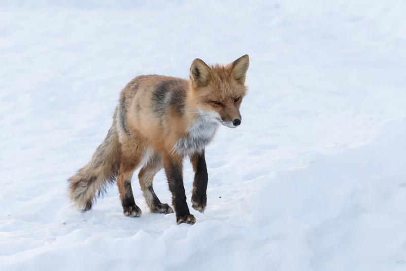 Small fox on snow.