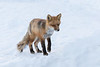 Small fox on snow.