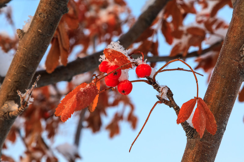 Leaves, berries and snow at sunrise.